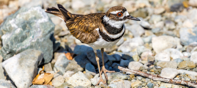 Killdeer - Photo by Allan Hack