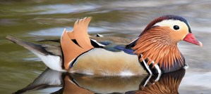 Male Mandarin Duck - Photo by Mike Beaumont