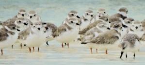 Piping Plovers - Photo by Craig Watson/USFWS