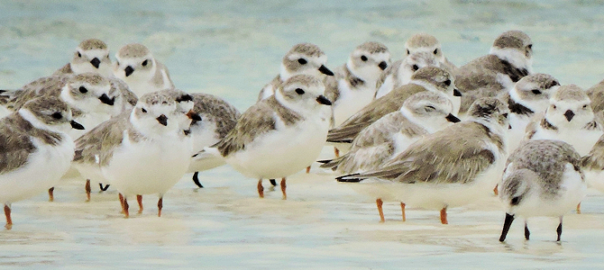 Piping Plovers - Photo by Craig Watson/USFWS