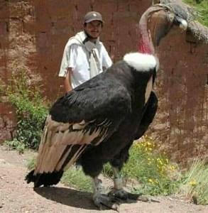 Poor Forced Perspective - Andean Condor