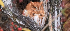 Eastern Screech-Owl Red Morph - Photo by Andy Reago & Chrissy McClarren