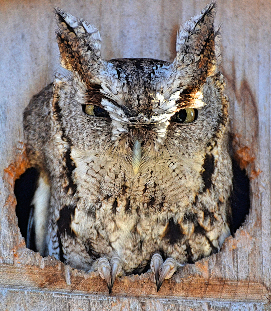Owl-In-Residence - Photo by DaPuglet (Tina)