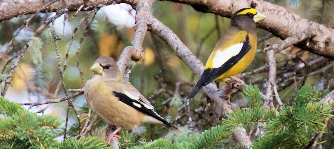 Evening Grosbeak Pair - Photo by Gerry