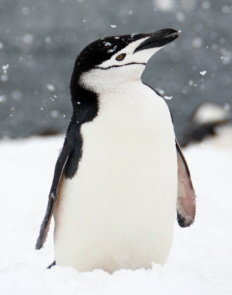 Snow Day Chinstrap Penguin - Photo by Ron Kline