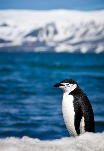 Chinstrap Penguin - Photo by ravas51