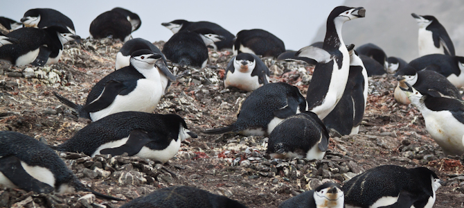 Chinstrap Nesting Colony - Photo by ravas51