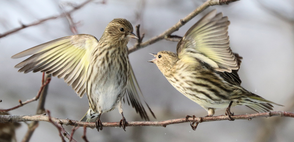 A Minor Disagreement - Photo by Peter Simpson
