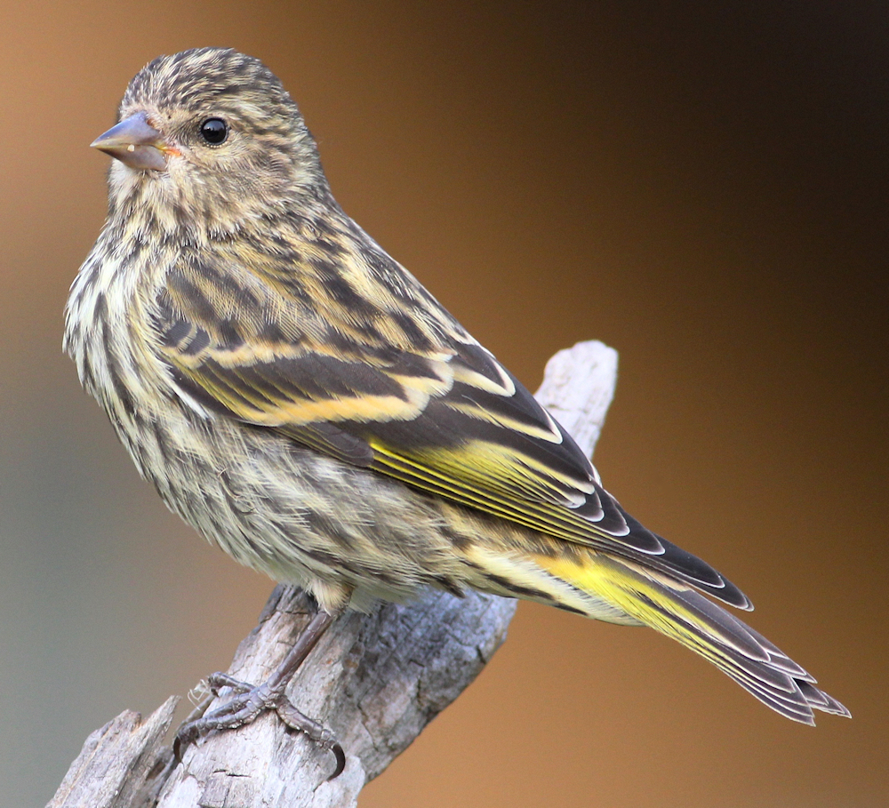 Pine Siskin Portrait - Photo by dfaulder