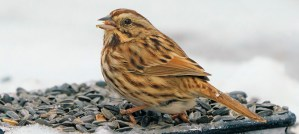 Song Sparrow at the Feeder - Photo by John Brighenti