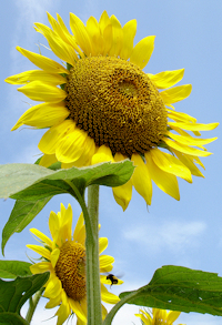 Tall Sunflower - Photo by Heather Spaulding