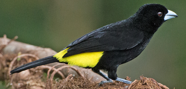 Lemon-Rumped Tanager - Photo by Lip Kee Yap