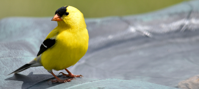American Goldfinch at the Bath - Photo by Courtney Celley/USFWS