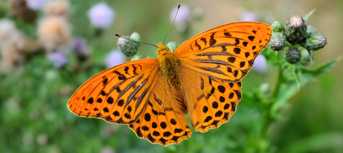 Silver-Washed Fritillary - Photo by Peter Weemeeuw