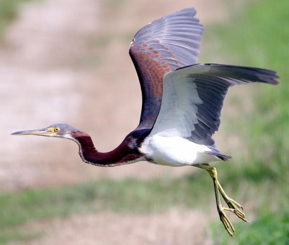 Tricolored Heron Takeoff - Photo by cuatrok77