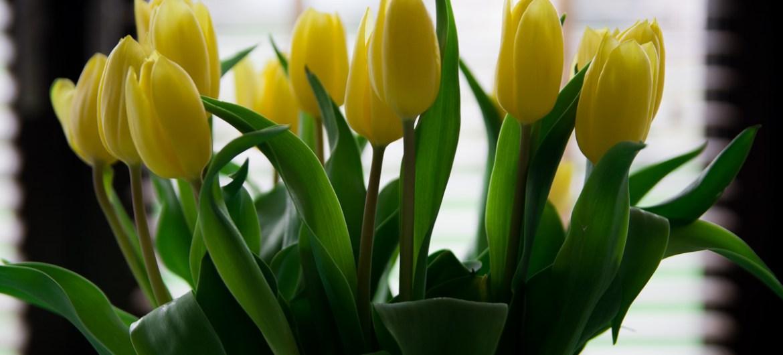 Żółte tulipany na wielkanoc