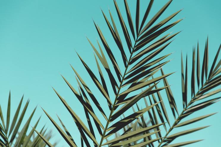 palma domowa liscie