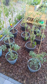 Way 1 - Tomato plants in pots