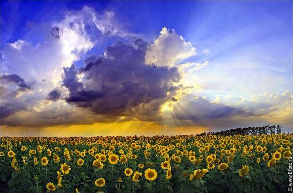 Подсолнуховое поле на закате фото большого размера