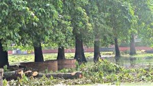 Árvores Kadamba em Rudradvipa