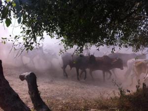 Vacas de Baelvana