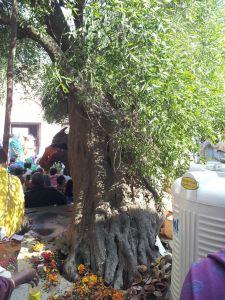 Linda árvore no jardim da casa de Radha