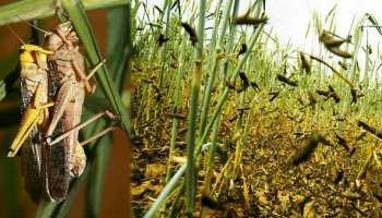 किसान भाई रहें सतर्क...यहां मंडरा रहा मक्का की फसल पर खतरा