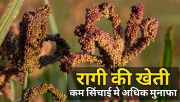 रागी की खेती से खुशहाली की ओर बढ़ रही महिलाएं