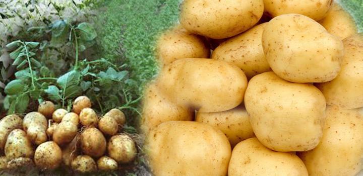 सब्जियों का राजा आलू की खेती कैसे करें