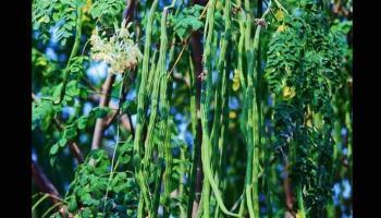 मुनगा के पौधे