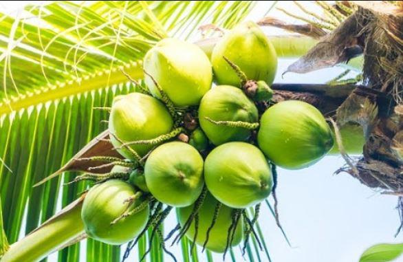 10 हजार नारियल पौधों का होगा नि:शुल्क वितरण