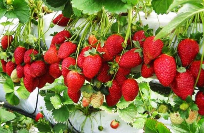 स्ट्रॉबेरी की खेती