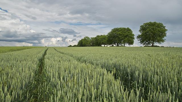 lahan pertanian gandum