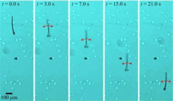 MagnetoSperm berenang menggunakan flagella. Kemampuan berenang ini berasal dari osilasi medan magnet lemah. (Credit: I.S.M. Khalil/GUC & S. Misra/U.Twente)