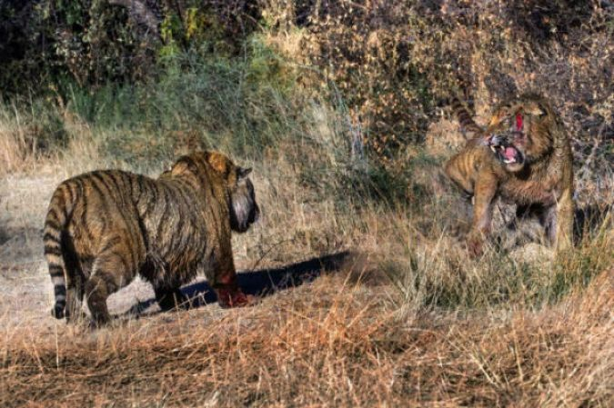 PIC BY MARION VOLBORN / CATERS NEWS - (PICTURED The two tigers come face-to-face in an open area, one of the tigers has a large gash on its face) This is the incredible moment two tigers were spotted EARNING THEIR STRIPES during a ferocious battle. The fearsome felines are seen clawing and biting at each others faces in a bitter dispute over territory. Spotted on 3rd July of this year at the the world famous 'Tiger Canyons' in the Londolozi private game reserve in Pretoria, South Africa, the clash erupted after one of the tigers delivered a vicious blow to the neck of its rival. Believing it to be dead, the tiger released its opponent from its jaws but instead of the fight coming to a grizzly end, the two broke out in a second, even more savage struggle. SEE CATERS COPY
