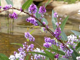 Lysterfield creek with Hardenbergia violacea