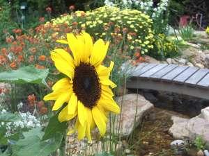 Sunflower in cottage style garden