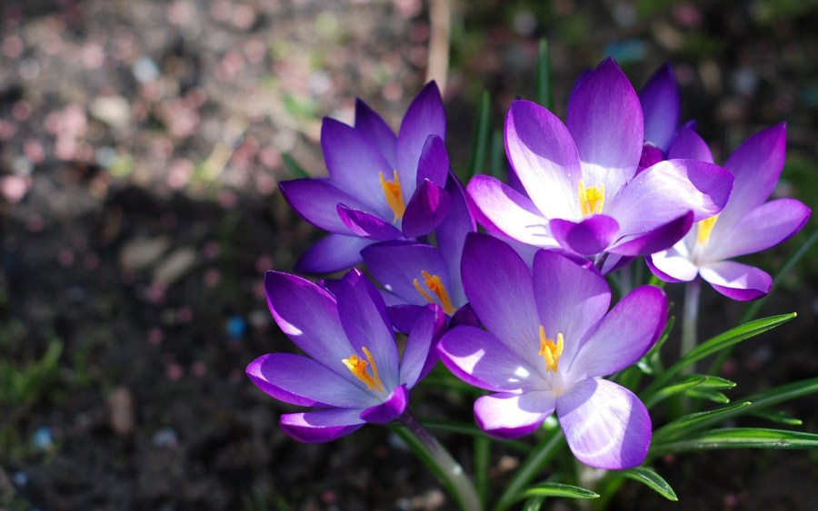 Flowers Violet Wallpapers   1920x1200   492207 Flowers Violet