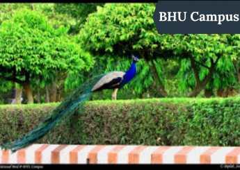 Peacock in BHU