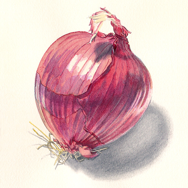 Purple Onion illustration, watercolor and graphite