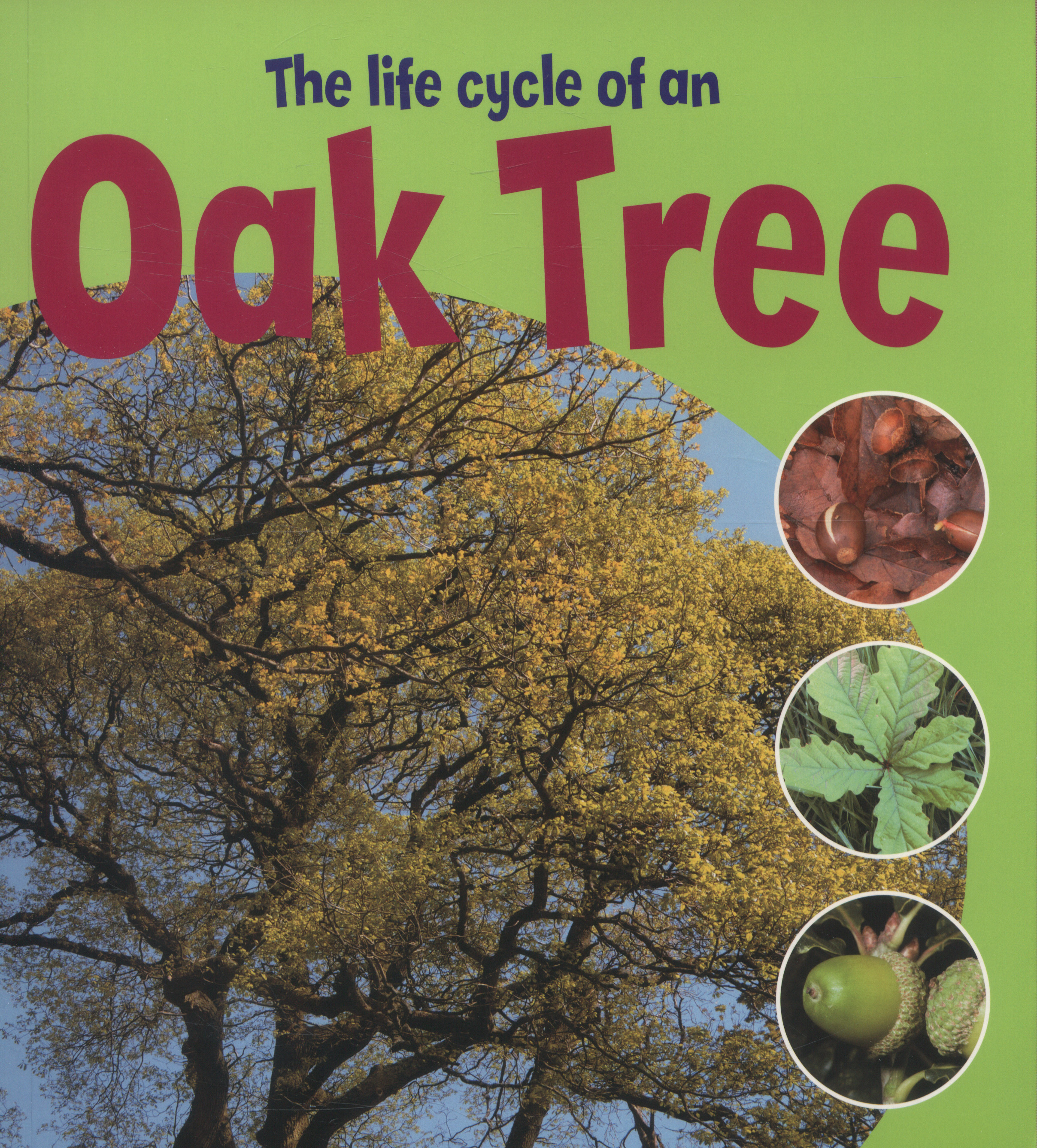 The Life Cycle Of An Oak Tree By Thomson Ruth