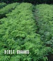 Bibit Sengon