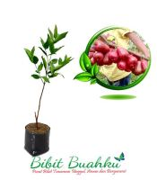Bibit Jambu Air Kesuma Merah