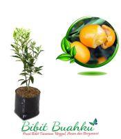 bibit tanaman jeruk nagami
