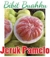 bibit jeruk pamelo