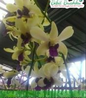Anggrek dendrobium kuning ungu