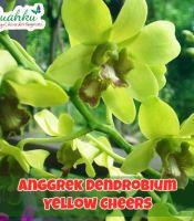 Jual Anggrek Dendrobium Yellow Cheers