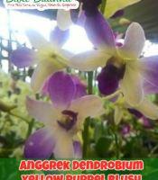 Jual Anggrek Dendrobium Yellow Purple Blush