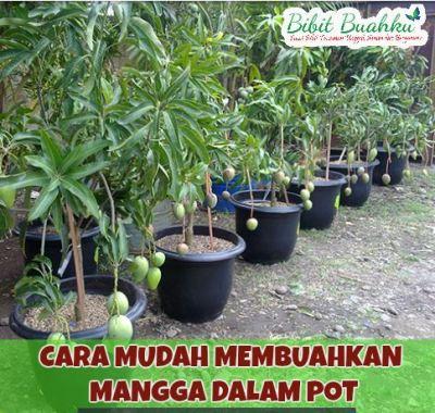 cara menanam mangga dalam pot