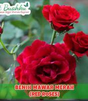 jual bibit mawar merah